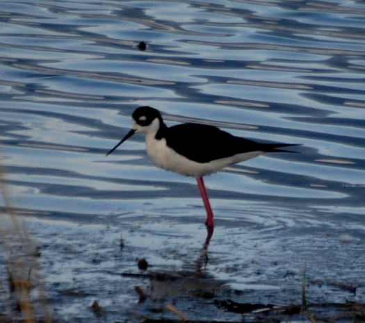 A black-necked stilt looks for its morning breakfast at Freezeout Lake