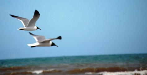 A pair of seagulls glide by