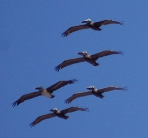 Pelicans in formation reminded me of Jet Planes in formation