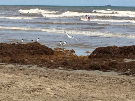 Sargassum (seaweed) buildup along the beach. Supposedly one of the worst in a long time