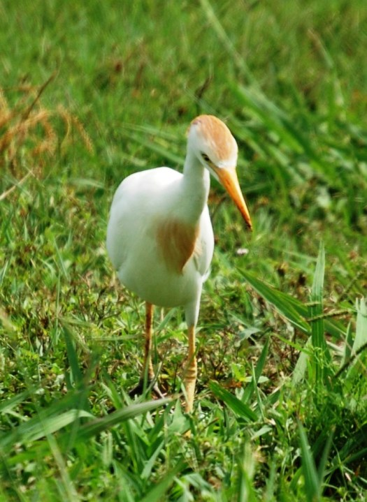 Another shot of a Cattle Egret