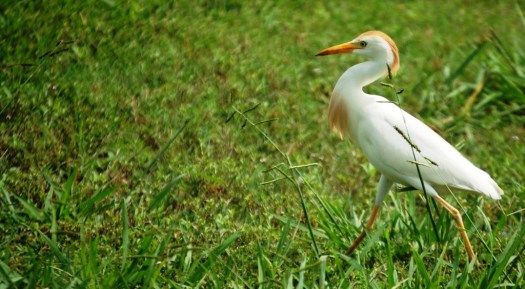 Cattle Egret seen in Angleton, Texas