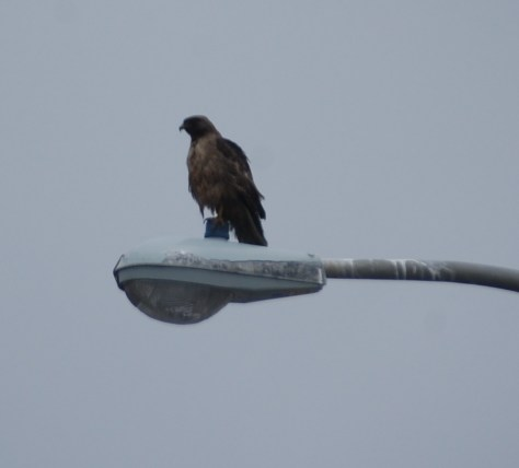 A hawk or falcon watches the scene on the beach