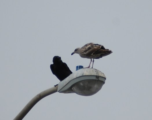 A gull and a crow converse on a light pole in San Francisco