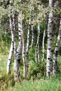 Groves of aspen surrounded the SOT-G base camp