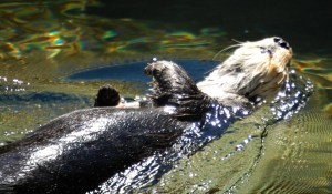 Otter at Play at Point Defiance Zoo in Tacoma