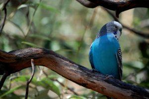A blue budgie