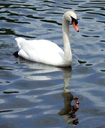 A lovely swan on the Avon River in Stratford, Ontario