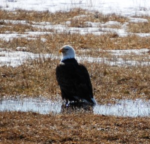 Bald Eagle in field east of Lewistown