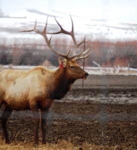 Elk Bull in Sugar City