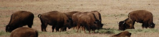 Buffaloes at Red Rock Ranch Rd. in Southern Montana