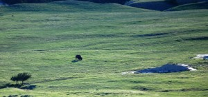 A lonely buffalo grazes in the valley near Sage Creek