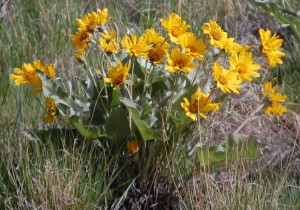 Yellow Wildflowers in Bighorn National Forest