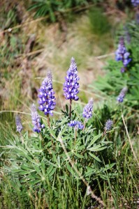 Lupine in Big Horn National Forest