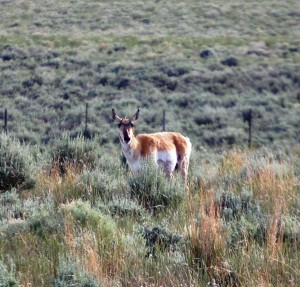 Pronghorn Antelope on CO Hwy 13