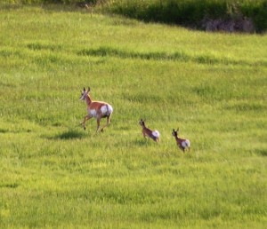 Another shot of the antelopes