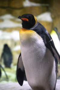 A Stately Penguin at the Henry Doorly Zoo