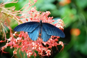 Striking Blue Butterfly on pink flowers