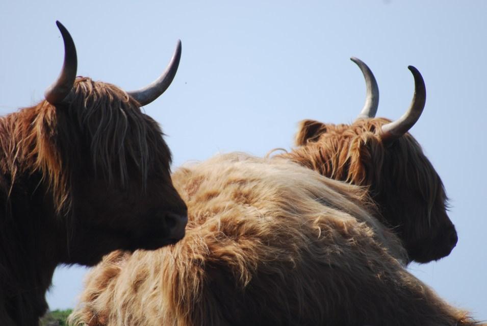 two coos, Scotland