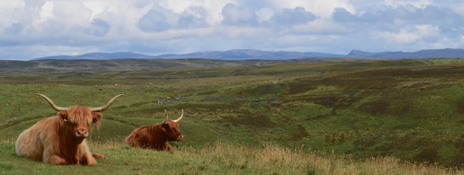 admiring the view - coos on Islay