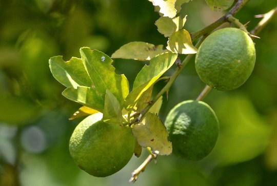 lemons, growing on the tree