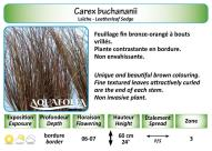 CAREX BUCHANANII_5X7