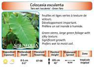 COLOCASIA ESCULENTA_5X7