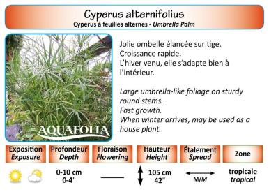 CYPERUS ALTERNIFOLIUS_5X7