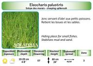 ELEOCHARIS PALUSTRIS_5X7