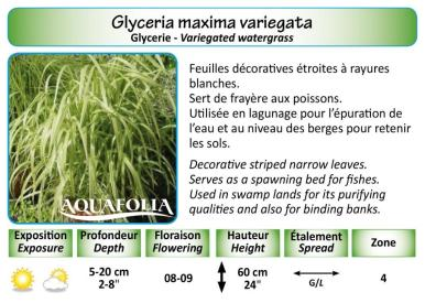 GLYCERIA MAXIMA VAR_5X7