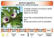 IPOMEA AQUATICA_5X7