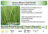 JUNCU EFFUSUS GOLD STRIKE_5X7
