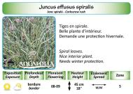 JUNCU EFFUSUS SPIRALIS_5X7
