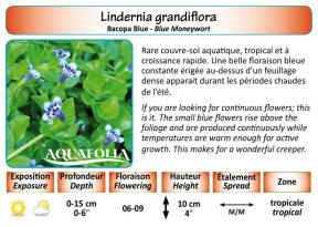 LINDERNIA GRANDIFLORA_5X7