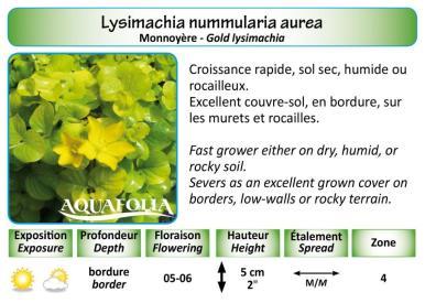 LYSIMACHIA NUMMULARIA AUREA_5X7