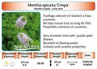 MENTHA SPICATA CRISPA_5X7
