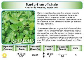 NASTURTIUM OFFICINALE_CRESSON FONTAINE_5X7