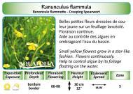 RANUNCULUS FLAMMULA_5X7