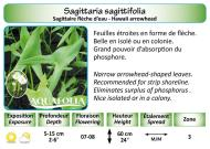 SAGITTARIA SAGITTIFOLIA_5X7