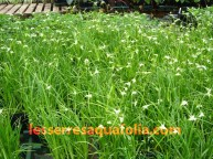 Les Dichromena colorata de plus en plus utilisés dans les potées fleuries