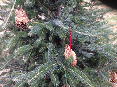 pinecone bird feeders for observing animals in winter