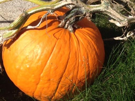 orange pumpkin - life cycle of a pumpkin
