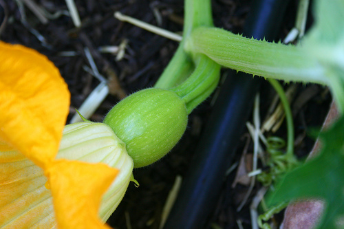 pumpkin female flower - pumpkin life cycle