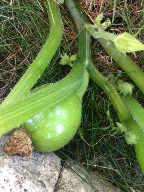 green pumpkin - life cycle of a pumpkin