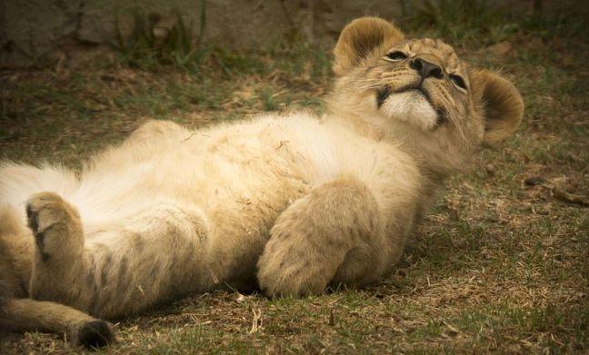 lion-cub-2818957__480