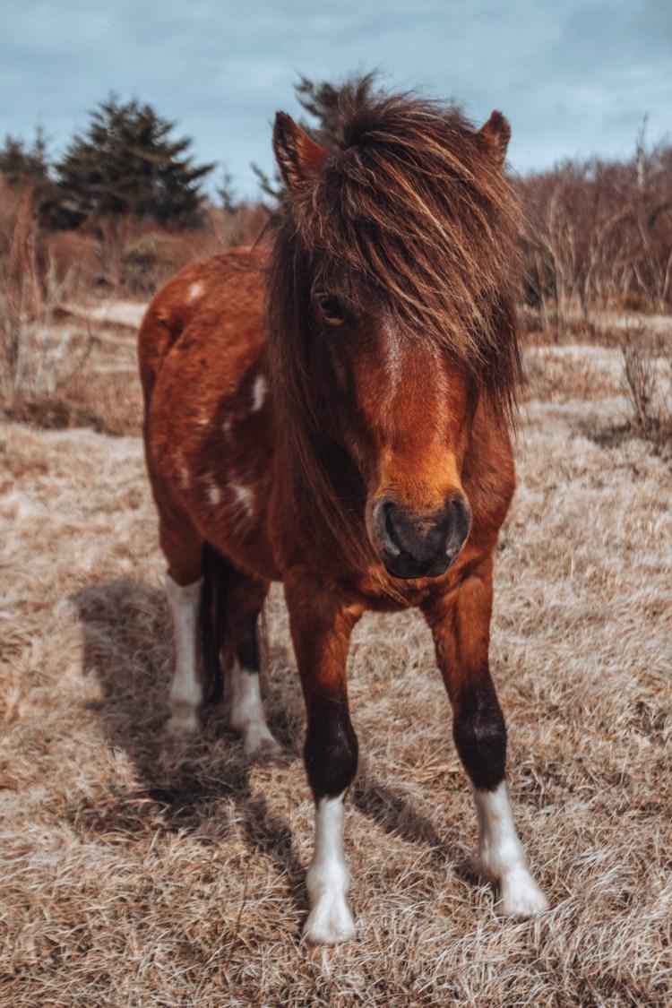 wild pony in Grayson Highlands, VA