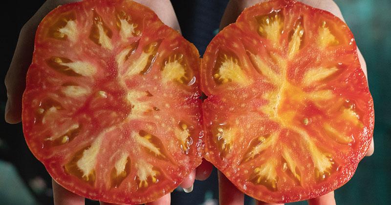 Tomates en hydroponie écologique chez les sourciers