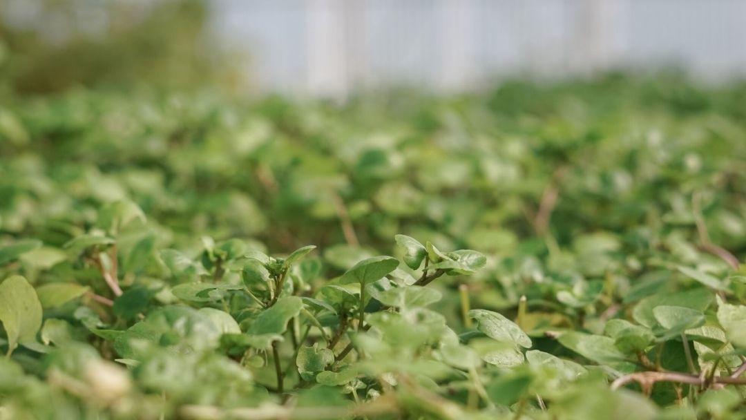 salade cresson recette