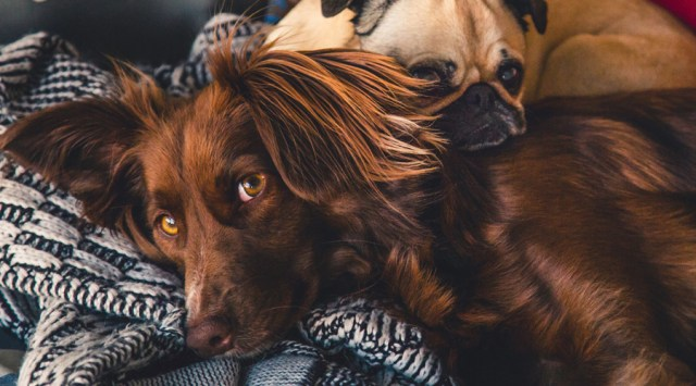 Two dogs laying together on a blanket.