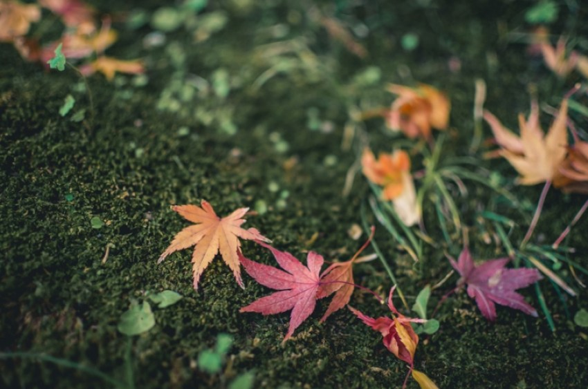 Photo of Japanese Maple leaves
